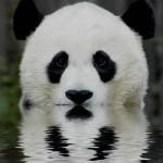 cute-pandas-03