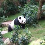 panda-at-the-sanctuary