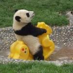 panda-having-fun